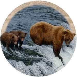 Brown Bear Drink Coasters