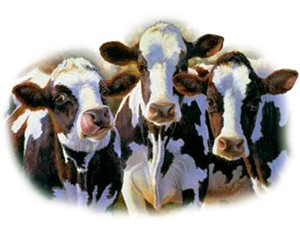 Cow T-Shirt - A Favorable Trio