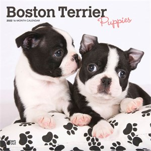 Boston Terrier Puppies Calendar 2015