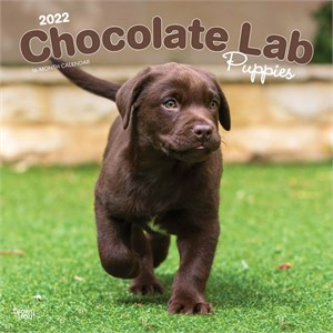 Chocolate Lab Puppies Calendar 2014