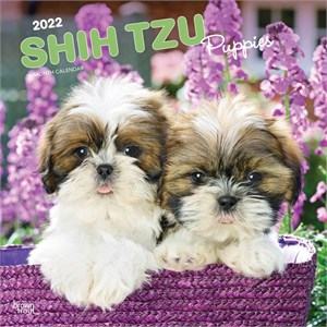 Shih Tzu Puppies Calendar 2015