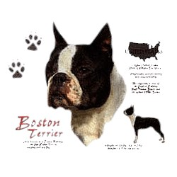 Boston Terrier T-Shirt - History Collection