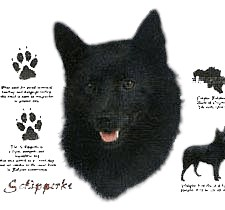Schipperke T-Shirt - History Collection