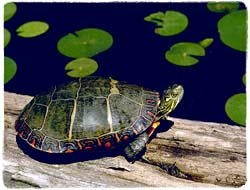 Turtle T-Shirt - Photo
