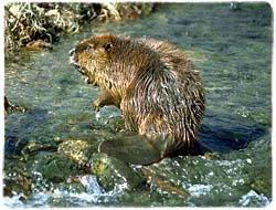 Beaver T-Shirt - Photo