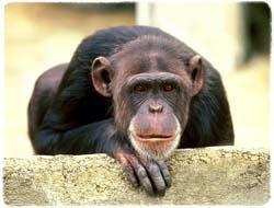 Chimpanzee T-Shirt - Photo