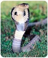 Cobra Mousepad
