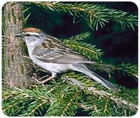 Sparrow Mousepad