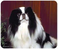 Japanese Chin Mousepad