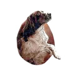 Springer Spaniel T-Shirt - Eye Catching