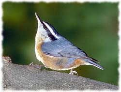 Nuthatch T-Shirt - Photo
