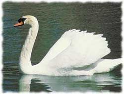 Swan T-Shirt - Photo
