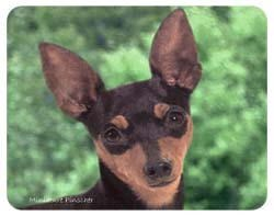 Miniature Pinscher Coasters