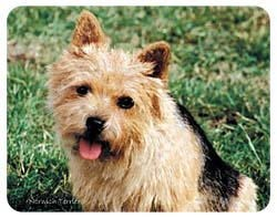 Norwich Terrier Coasters