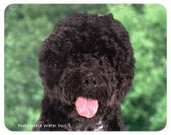 Portuguese Water Dog Coasters