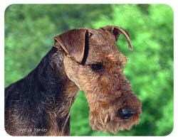 Welsh Terrier Coasters