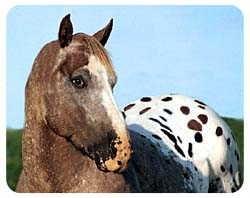 Appaloosa Horse Coasters