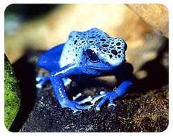 Blue Poison Frog Coasters