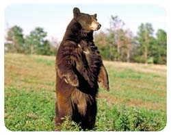 Brown Bear Coasters