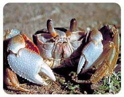 Crab Coasters