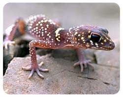Gecko Coasters
