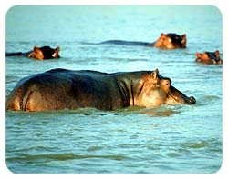 Hippopotamus Coasters