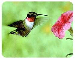 Hummingbird Coasters