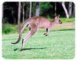 Kangaroo Coasters