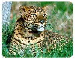 Leopard Coasters