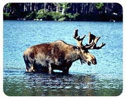 Moose Coasters