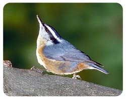 Nuthatch Coasters
