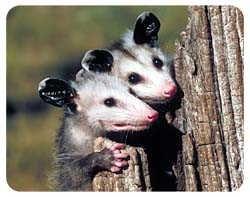 Opossum Coasters