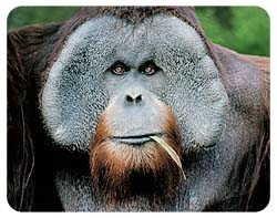 Orangutan Coasters