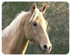 Palomino Horse Coasters