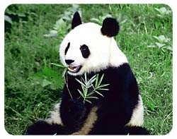 Panda Bear Coasters