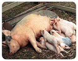 Pig Coasters