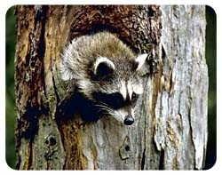 Raccoon Coasters