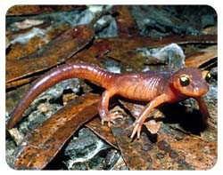 Salamander Coasters