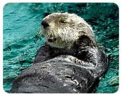Sea Otter Coasters