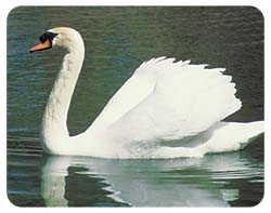 Swan Coasters