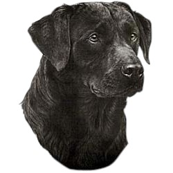 Black Lab T-Shirt - Eye Catching Detail