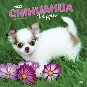 Too Cute Chihuahua By Myrna Calendar 2015