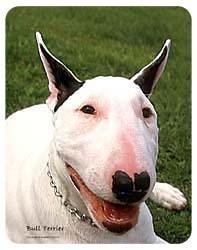 Bull Terrier Coasters