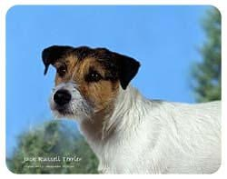Jack Russell Terrier Coasters