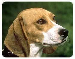 Beagle Coasters