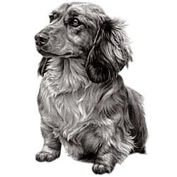 Dachshund T-Shirt - Eye Catching Detail Wirehaired