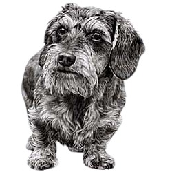 Wire Haired Dachshund T-Shirt - Eye Catching Detail