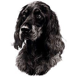 Gordon Setter T-Shirt - Eye Catching Detail