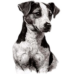 Jack Russell Terrier T-Shirt - Eye Catching Detail