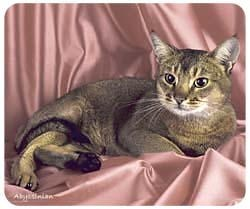 Abyssinian Cat Mousepad